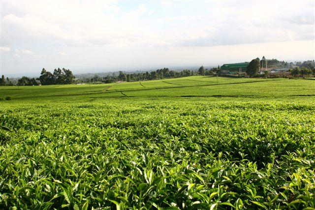 Tea fields in Kenya