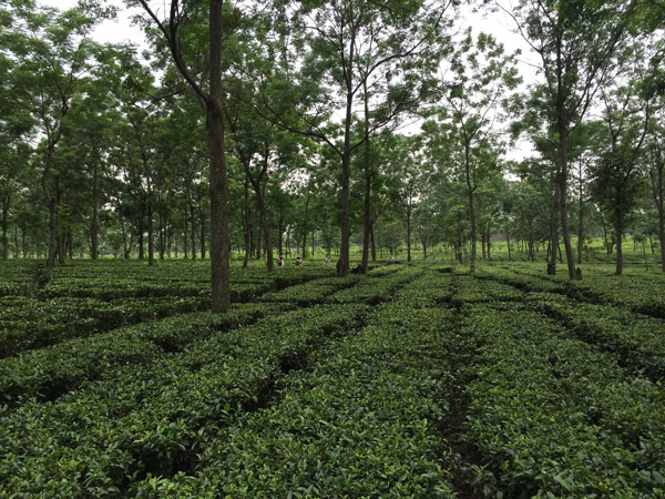 Tea field in India