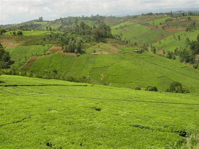 Rolling hills of tea in Kenya